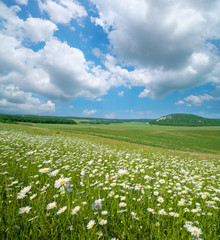 Wall Mural - Beautiful camomile meadow in mountain at day.