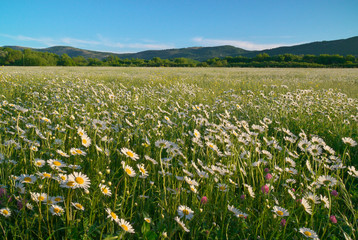 Wall Mural - Beautiful sunny camomile meadow in mountain