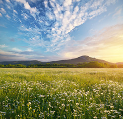 Wall Mural - Beautiful sunny camomile meadow in mountain at sunset
