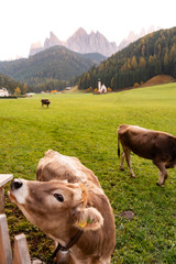 Wall Murals Cow cows in the mountains