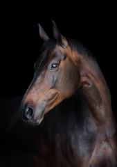 Foto op Canvas Paarden Portrait of a bay horse