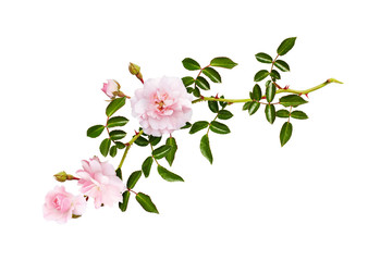 Twig of garden rose flowers, buds and leaves Wall mural