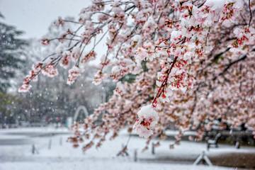 Papiers peints Fleur de cerisier さくら 桜 雪 桜と雪 降る 春 花
