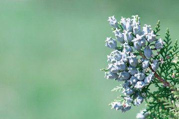 Eastern biota, thuja branch with blue seeds cones on a blurry background with soft focus and place for text. Wall mural