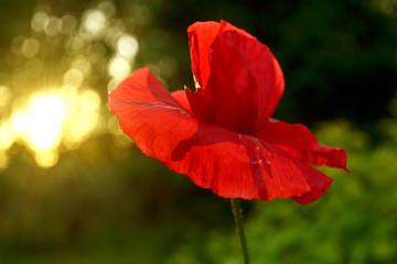 Obraz red poppy flower at sunset - fototapety do salonu