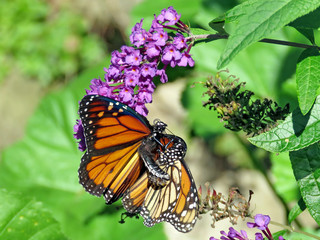 Toronto High Park the two Monarchs 2018