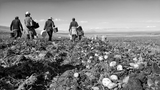 workers go to eat after work, Farm Workers Harvest Potatoes. Fresh organic potatoes in the field.