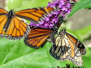 Toronto High Park Monarch butterflies 2018