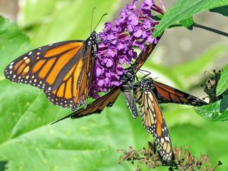 Toronto High Park Monarchs on a buddleja flower 2018