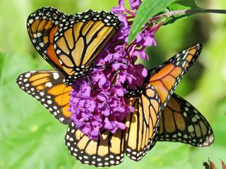 Toronto High Park the Monarch butterflies 2018