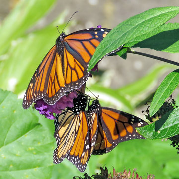 Toronto High Park the Monarchs 2018