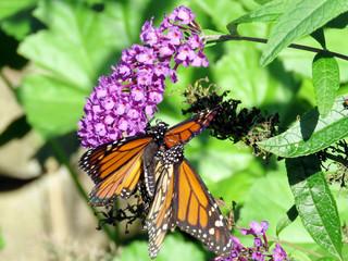 Toronto High Park the two Monarch butterflies 2018