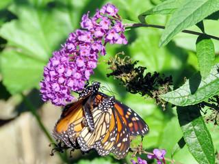 Toronto High Park the two Monarch butterflies on a buddleja flower 2018