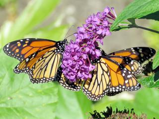 Toronto High Park three Monarch butterflies 2018