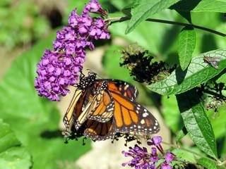 Toronto High Park the two Monarchs on a buddleja flower 2018