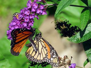 Toronto High Park two Monarch butterflies 2018