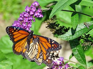 Toronto High Park two Monarch butterflies on a buddleja flower 2018