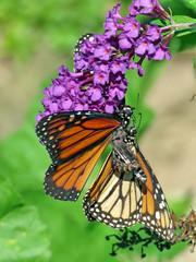 Toronto High Park two Monarchs 2018