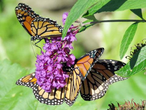 Toronto High Park three Monarchs on a buddleja flower 2018