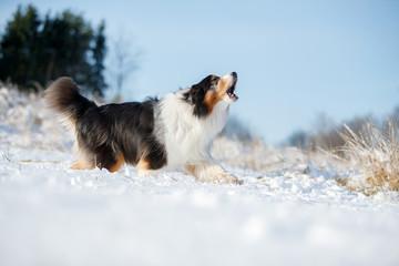 Fototapete - A dog of the Australian shepherd breed plays