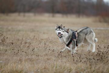 Fototapete - Siberian Huskies play on the autumn grass