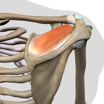 Supraspinatus Muscle Isolated in Posterior View Human Anatomy on White Background