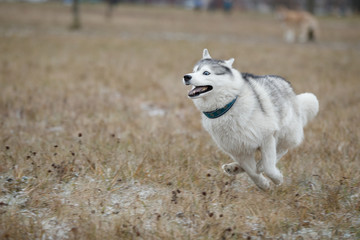 Fototapete - Dogs run and play in the field. Siberian Huskies play on the autumn grass