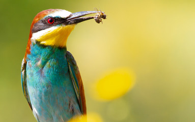 Merops apiaster, common bee-eater. With a bee in its beak Fototapete