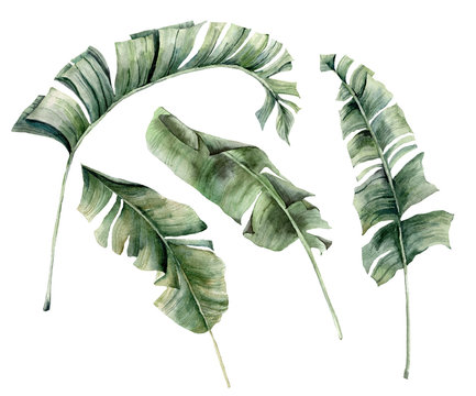 Watercolor summer set with banana branches. Hand painted tropical palm leaves and twigs isolated on white background. Floral illustration for design, print, background.