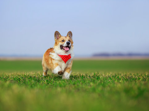 beautiful red Corgi dog puppy Pembroke runs merrily across a green meadow open mouthed on a Sunny spring day