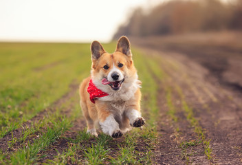 beautiful red Corgi dog puppy Pembroke runs merrily along the summer road on a Sunny day Fotobehang