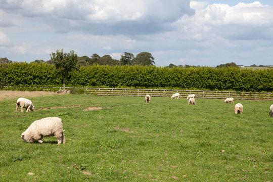 Saint Austell (England), UK - August 19, 2015: Devon & Cornwall longwool sheep farm in The Lost Gardens of Heligan, Cornwall, England, United Kingdom.