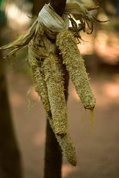 corn   dry