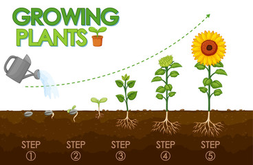 Garden Poster Kids Diagram showing how plants grow from seed to sunflower
