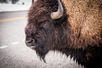 Photo sur Aluminium Buffalo Buffalo