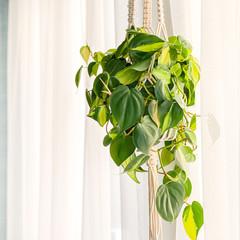 green philodendron brasil hanging in macrame plant hanger