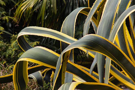 Agava leaves