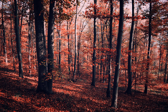 Red surreal forest in autumn