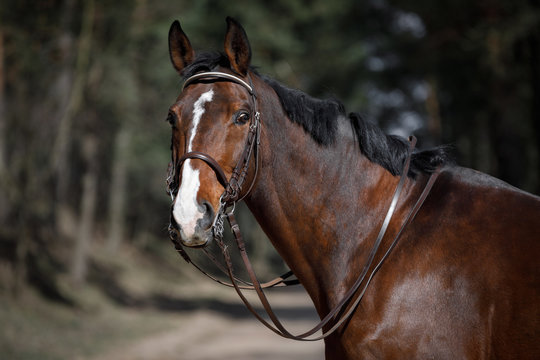 portrait of dressage gelding horse in double bridle on forest road in spring daytime