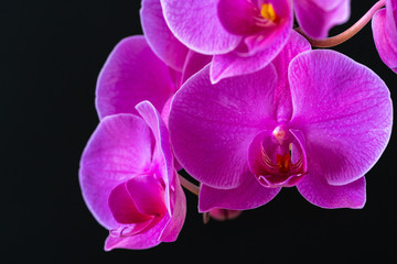 Tuinposter Orchidee Purple orchid branch on dark black background close up