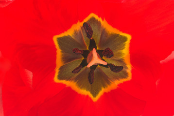 Aluminium Prints Tulip Red tulip closeup top view