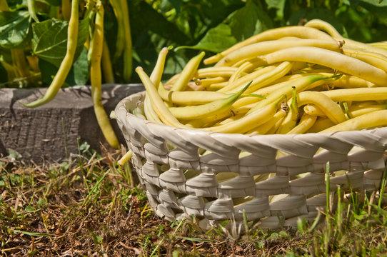 Fresh yellow string bean - home grown vegetables