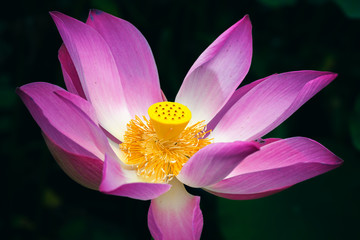 Wall Mural - Pink lotus or waterlily flower over dark background