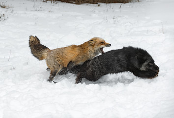 Wall Mural - Red Fox (Vulpes vulpes) Attacks Silver Fox Winter