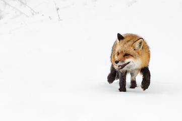 Wall Mural - Red Fox (Vulpes vulpes) Steps Paw Up in Snow Winter