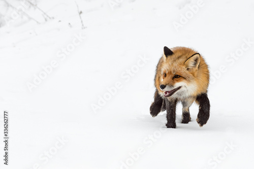 Wall mural Red Fox (Vulpes vulpes) Steps Paw Up in Snow Winter