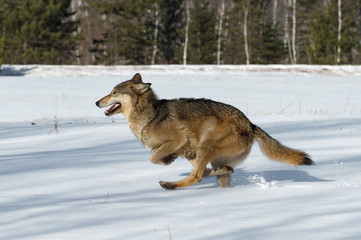 Wall Mural - Grey Wolf (Canis lupus) Kicks Up Snow Running Left Winter