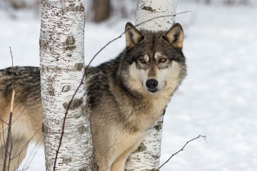 Fotomurales - Grey Wolf (Canis lupus) Stands Between Birch Trees Looking Left Winter