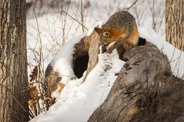 Wall Mural - Grey Fox (Urocyon cinereoargenteus) Climbs Out of Log Winter