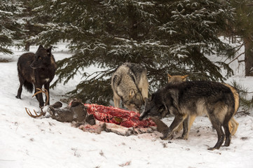 Wall Mural - Grey Wolf (Canis lupus) Pack Gathers Around White-Tail Deer Carcass Winter